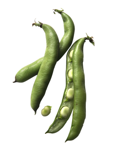 broad-beans.png